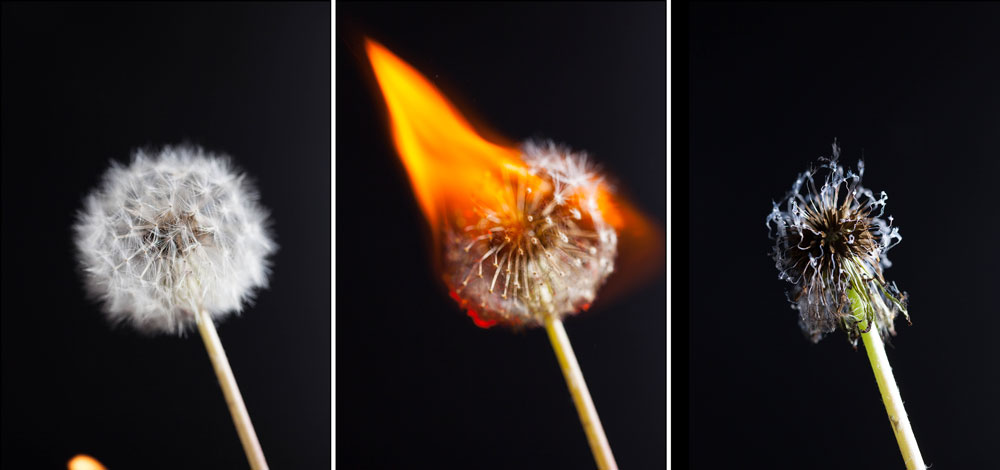 dandelions on fire
