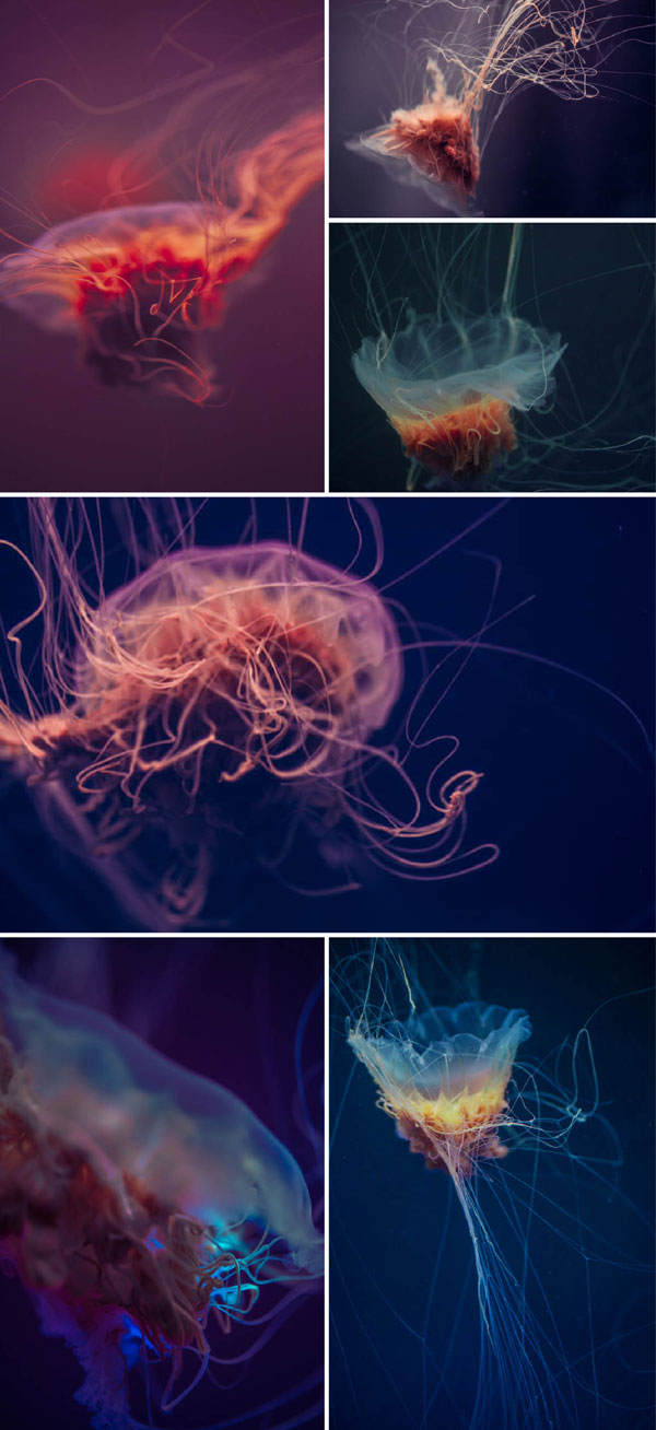 jelly fish photographs by irene liebler